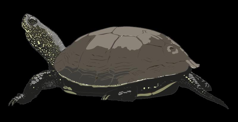 Turtle clip art  2