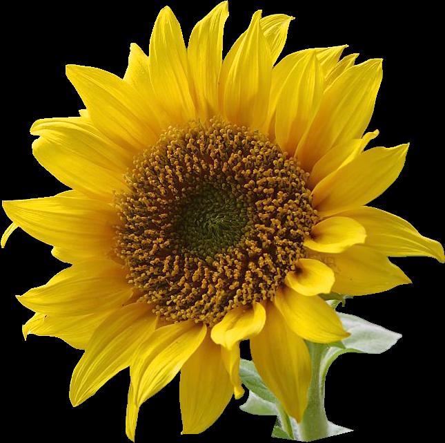 Sunflower clip art clipart free clipart microsoft clipart