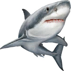 White shark clipart