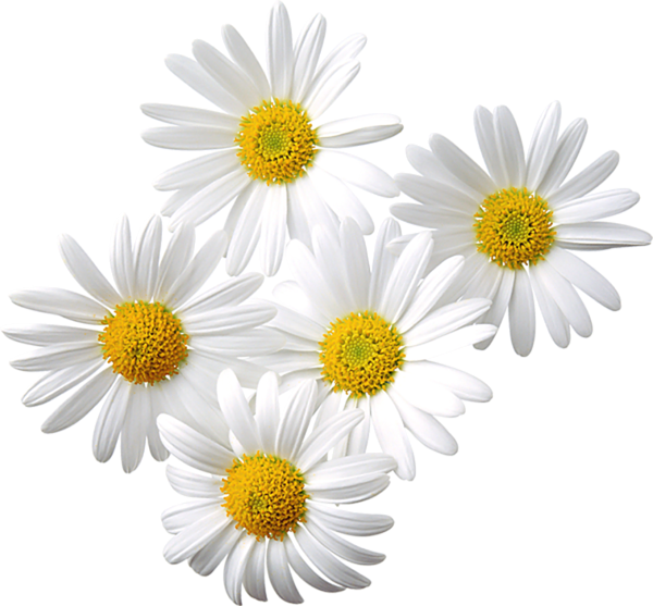 Daisy gallery free clipart pictures