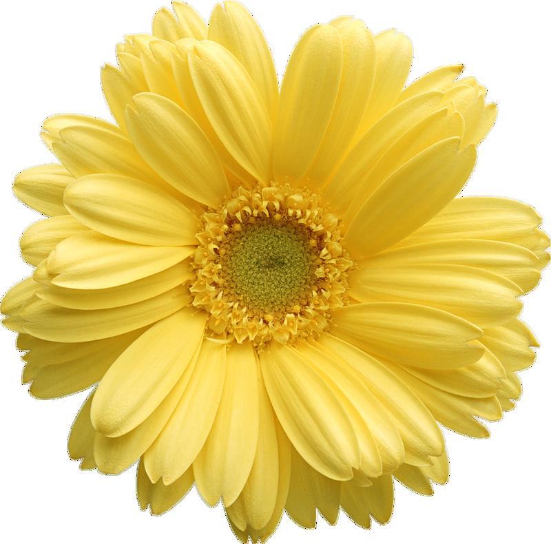 Yellow gerber daisy clipart 0