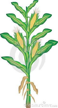 Corn plant clipart