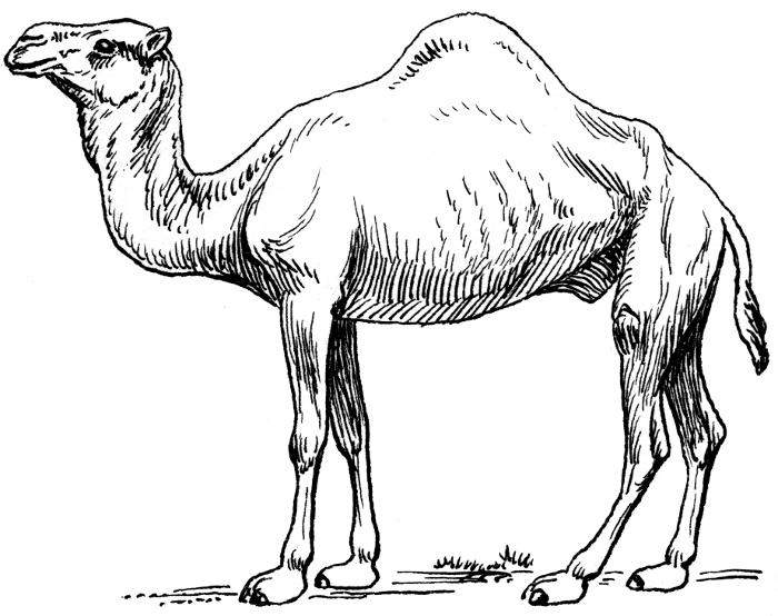 Camel dromedary 2 animals camel camel 2 camel dromedary 2 clipart