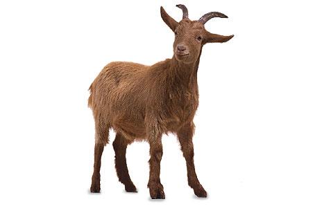 Cliparti1 goat clipart
