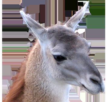 Llama animal clip art