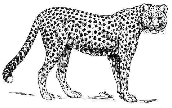 Jaguar clipart 8