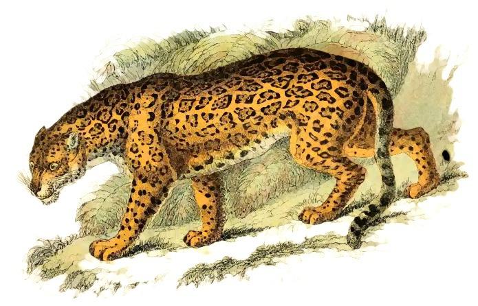Jaguar felis onca animals wild cats jaguar jaguar felis onca clip art