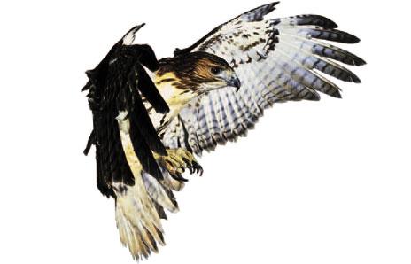 Hawk clip art 3