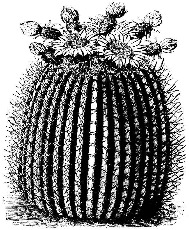 Barrel cactus clip art