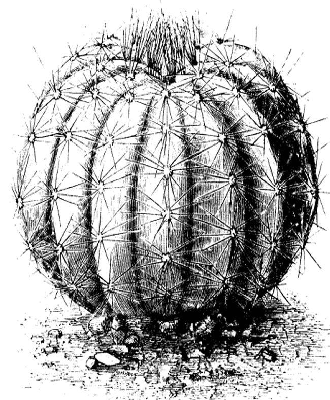 Cactus clip art 16