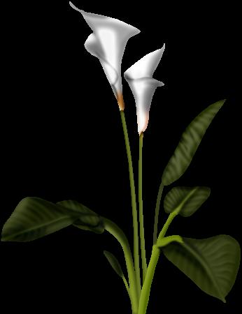 Calla lily clipart 2