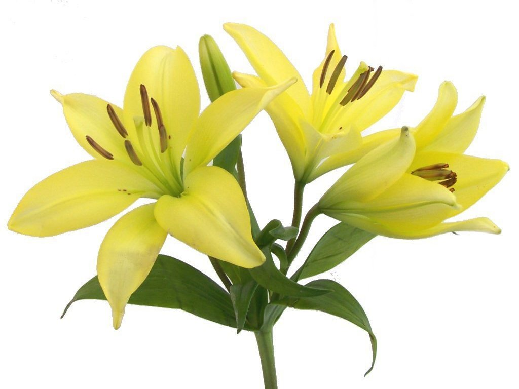 Lily image clip art lilies flowers