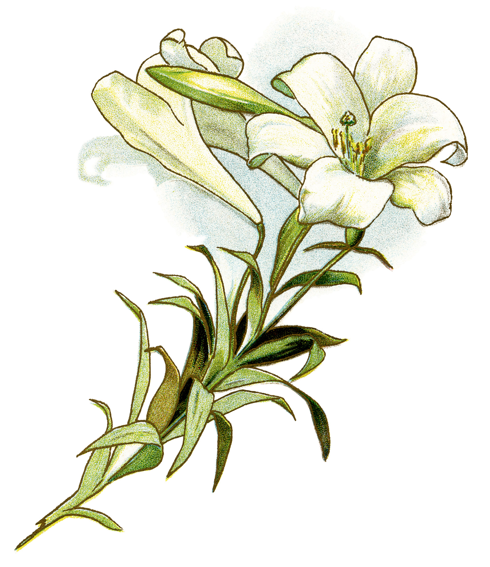 Lily image free clip art of easter lilies 2