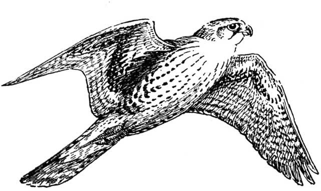 Falcon clip art 6