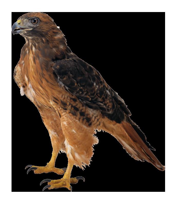 Falcon clipart web clipart