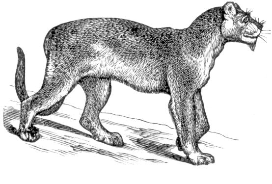 Cougar clip art download 2
