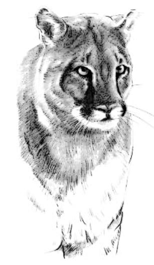 Cougar clip art download