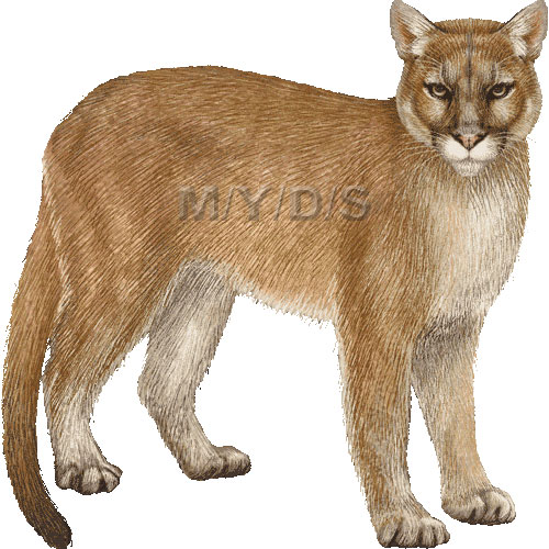 Cougar puma concolor clipart graphics free clip art