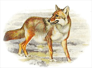Free coyotes clipart free clipart graphics images and photos
