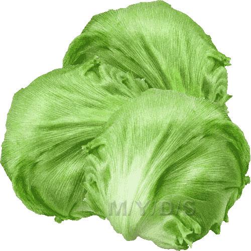 Lettuce clipart free clip art 2