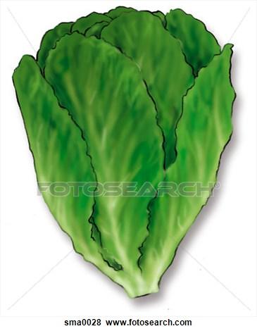Romaine lettuce clipart