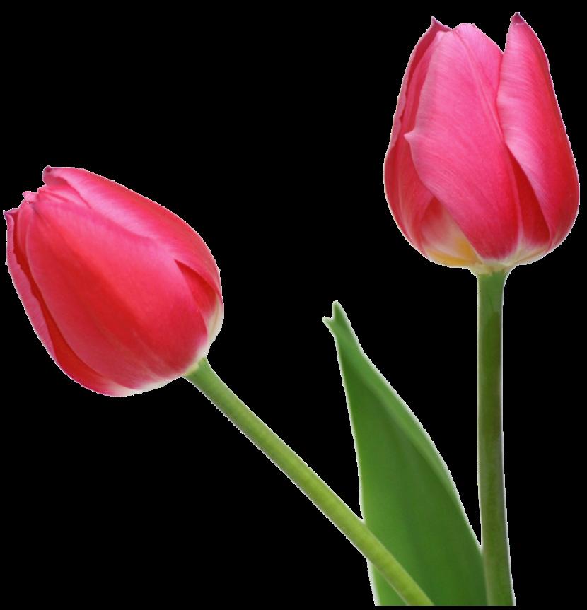 Tulip clipart 3