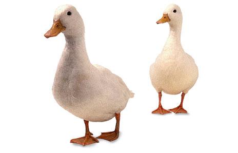 Goose clip art clipart